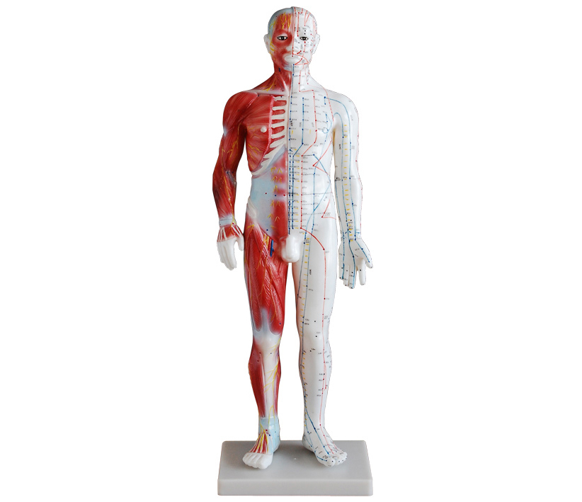 HL/XC518A 男性针灸模型60CM(带肌肉解部)