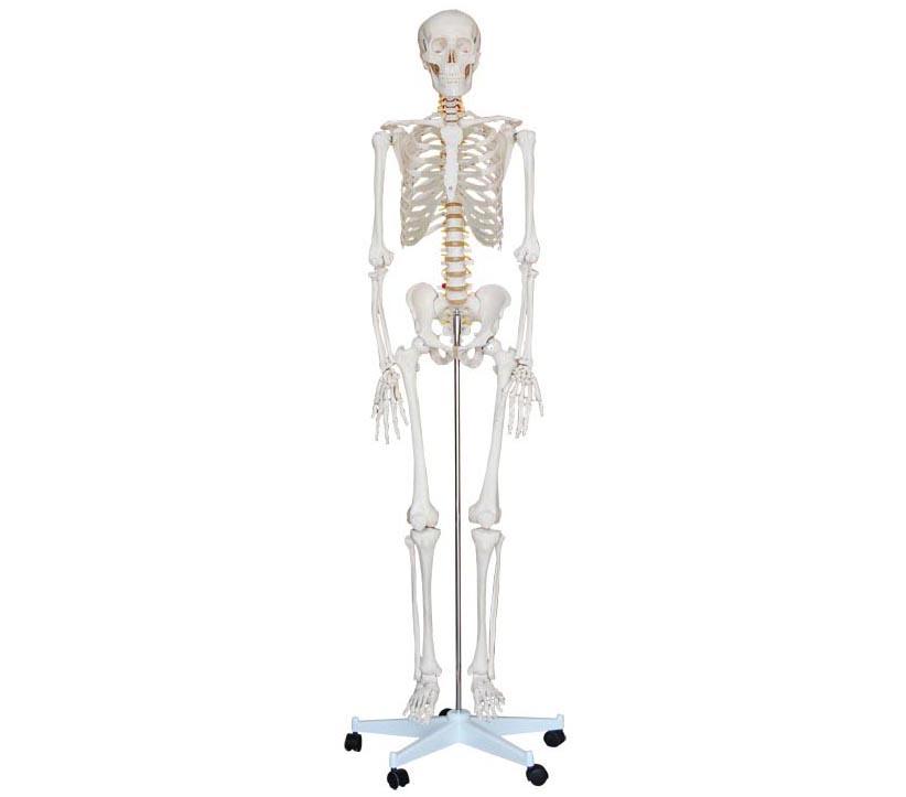HL/XC101 人体骨骼模型(170cm)