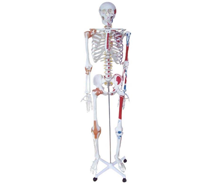 HL/XC101A 人体骨骼半边肌肉着色半边附肌肉韧带模型(170CM)