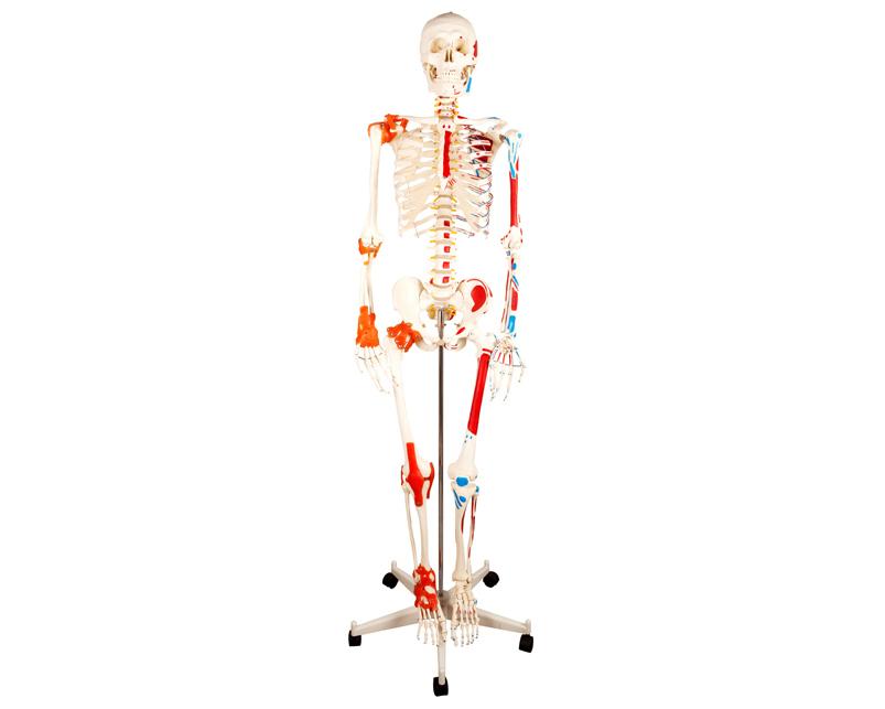HL/XC101C 人体骨骼半...