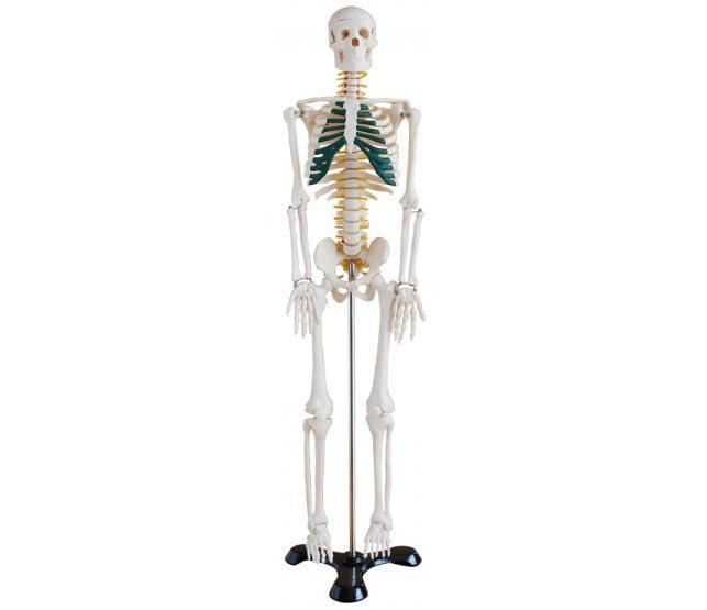 HL/XC102A 人体骨骼带...