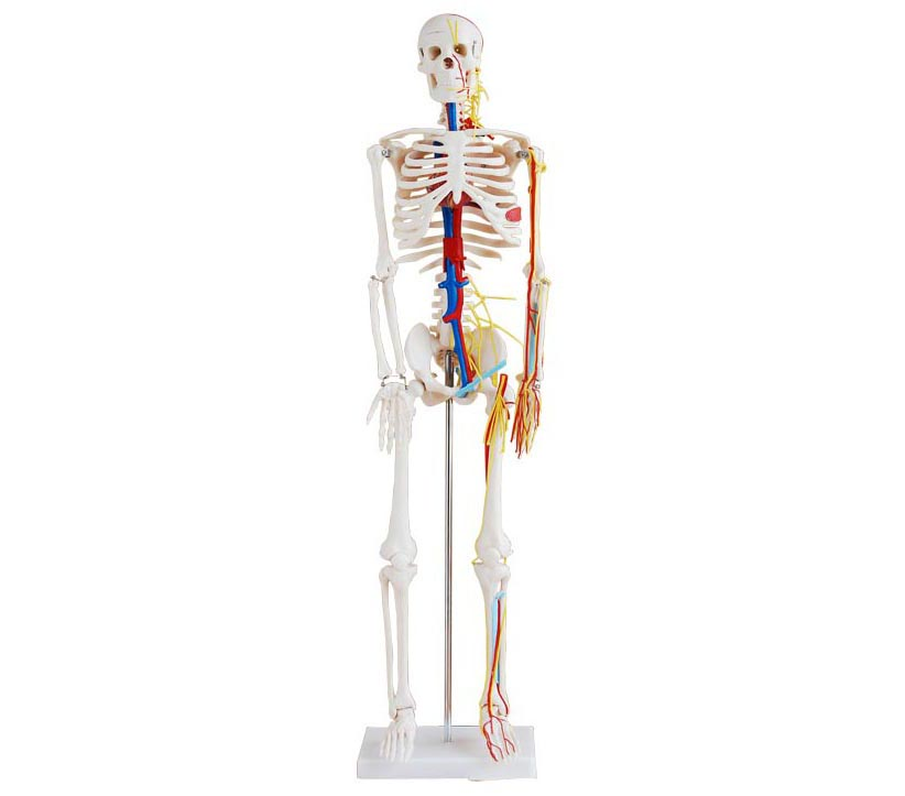 HL/XC102B 人体骨骼带心脏与血管模型(85CM)