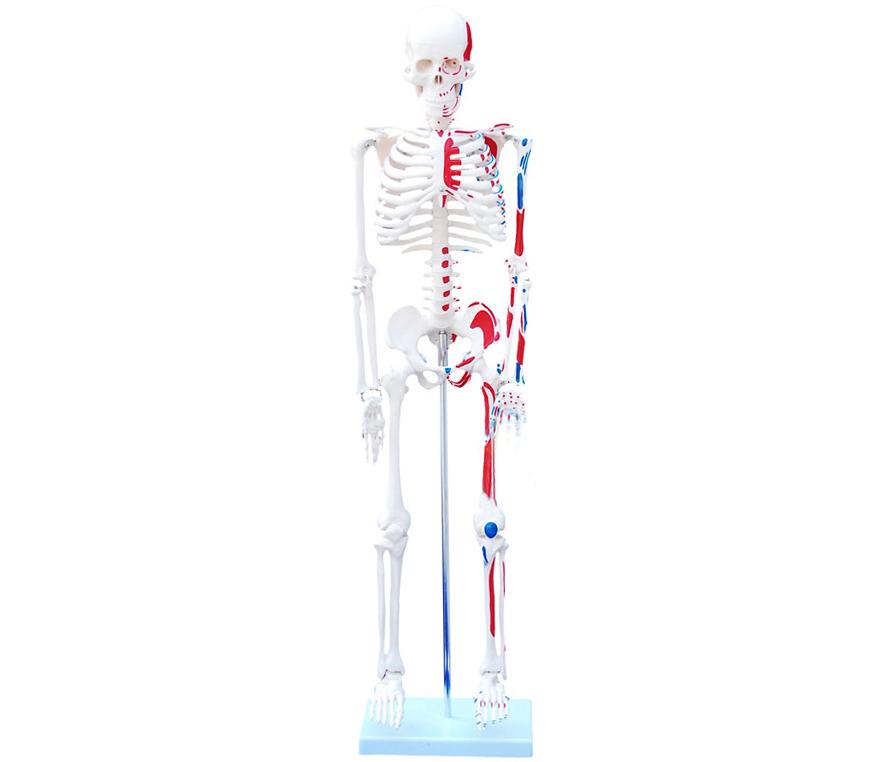 HL/XC102C 人体骨骼附...