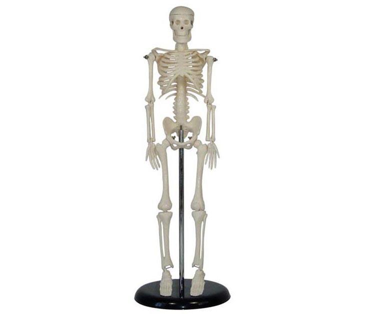 HL/XC103 人体骨骼模型(42CM)