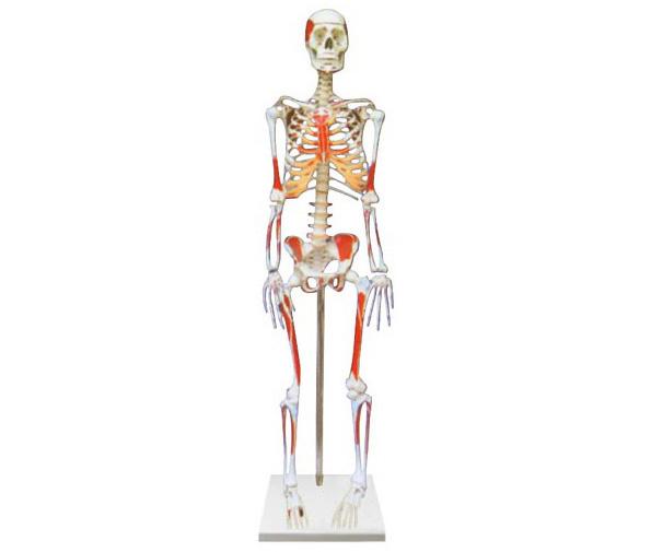 HL/LY1008 人体骨骼附肌肉起止点着色模型(85CM)