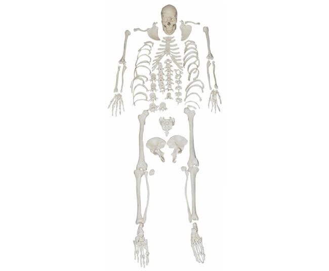HL/XC130 人体全身散骨模型(自然大)