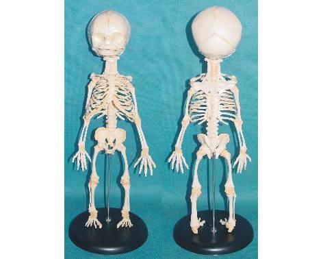 HL/SMD0024 胎儿骨骼模型