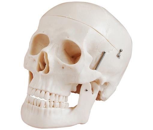 HL/XC104 自然大头颅骨模型