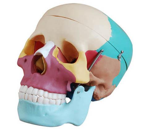 HL/XC104C 自然大头颅骨骨性着色模型