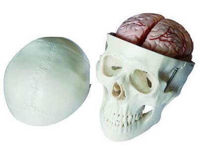 HL/XC104E 头骨带8部分脑动脉模型