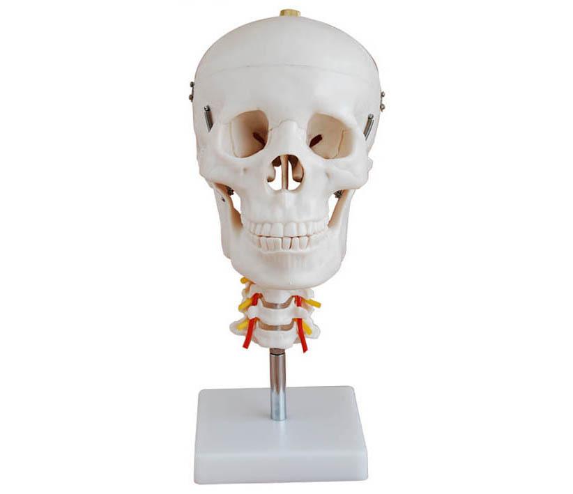HL/XC135 头颅骨带颈椎模型