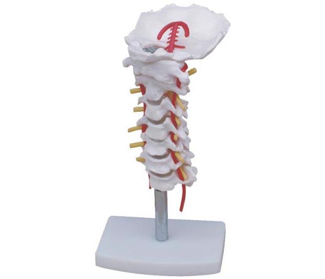 HL/XC133 颈椎带颈动脉...