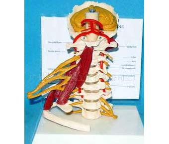 HL/GG038 高级颈椎附肌肉模型