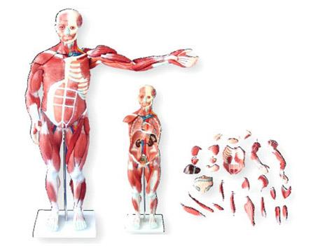 HL/XC334 人体肌肉模型...