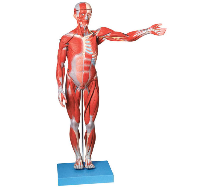 GD/A11302 全身肌肉解剖模型