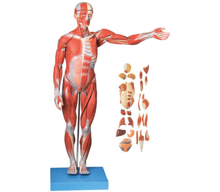 GD/A11301 全身肌肉附内脏模型