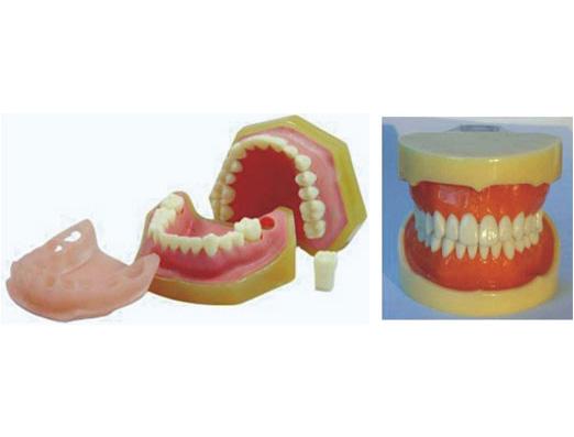 HL/Y10026 标准牙模型