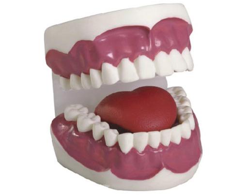 HL/11B 牙齿护理保健模...