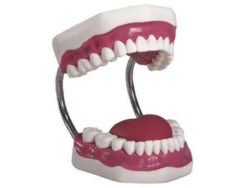 HL/11A 牙齿护理保健模...