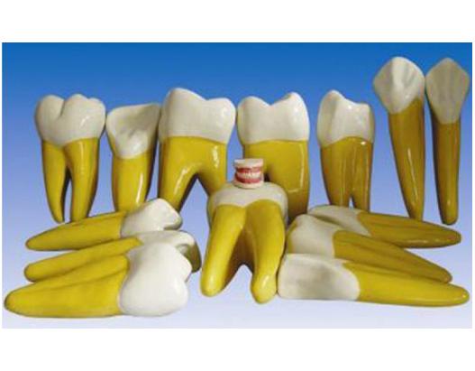 HL/Y10004-1 牙放大模型