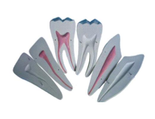 HL/Y10004-4 牙放大模型