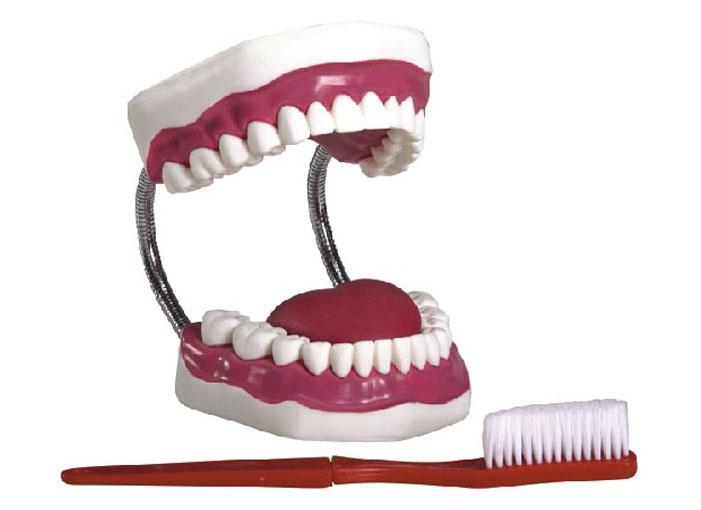 HL/K1 牙护理保健模型(...